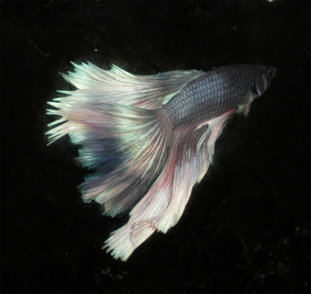 1000 images about beautious bettas on pinterest betta for Betta fish water