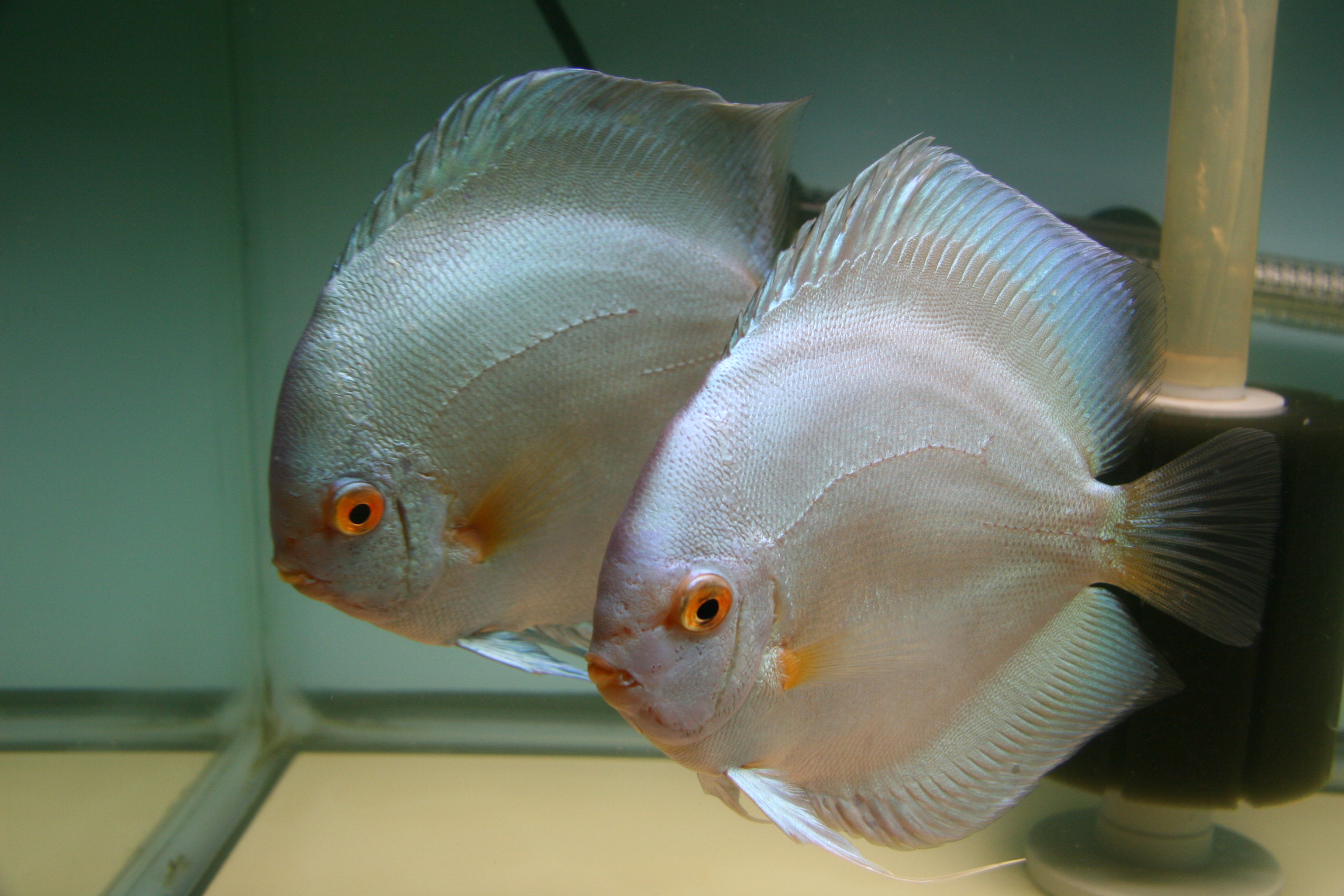 Half Moon Blue Diamond Discus Blue Diamond Discus Cary nc