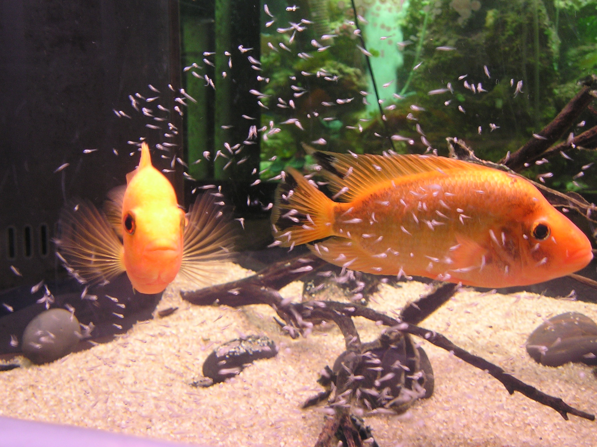 Tropical fish photo contest entries for Red devil fish